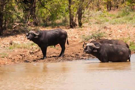 African Buffalo, Punda Maria