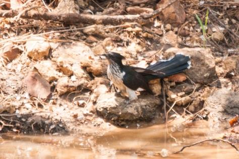 Levaillant's Cuckoo, Punda Maria
