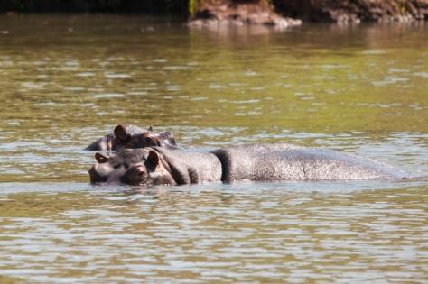 Hippo, Luvuvhu River