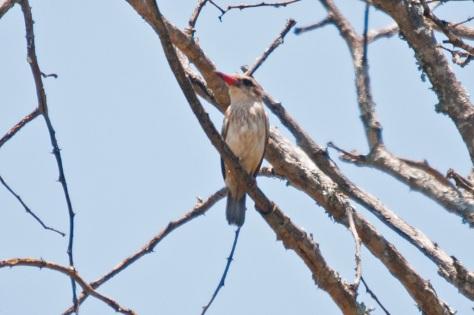 Striped Kingfisher, Punda Maria