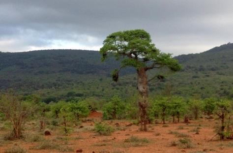 Baobab with nests, Punda Maria