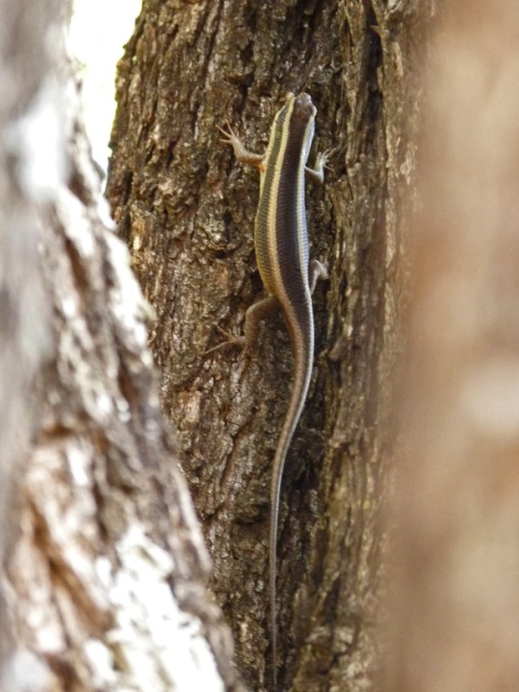 Treasure hunt : Striped Skink, Punda Maria