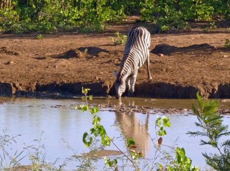 Burchell's Zebra, Punda Maria