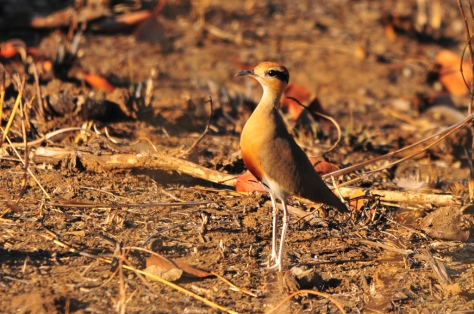 Temminck's Courser, Olifants