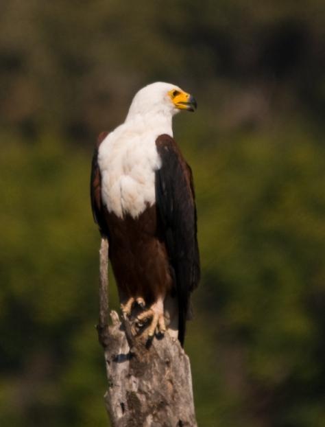 African Fish-Eagle, Letaba