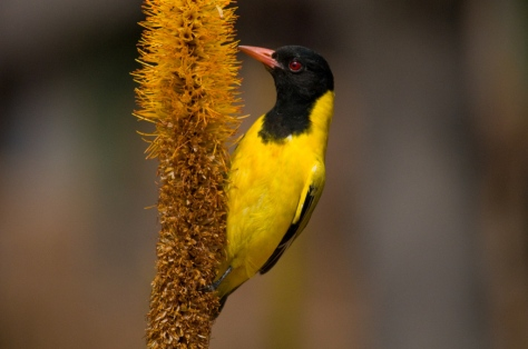 Black-headed Oriole, Olifants
