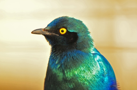Greater Blue-eared Starling, Letaba