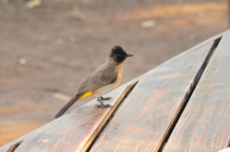 Dark-capped Bulbul, showing off its modern hairstyle