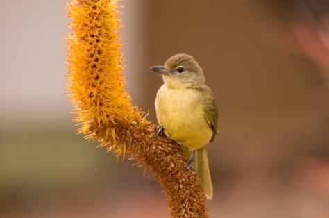 Yellow-bellied Greenbul, Olifants