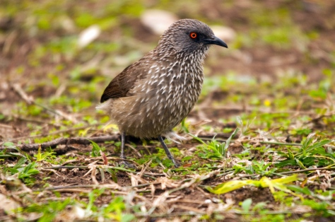 Arrow-marked Babbler, Letaba
