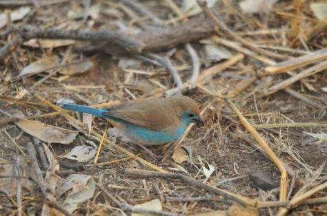 Blue Waxbill, Letaba