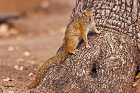 Tree Squirrel (Paraxerus cepapi) , Letaba