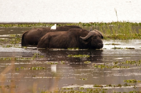 African Buffalo, Letaba