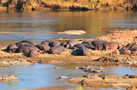 Pod of Hippos on Olifants River