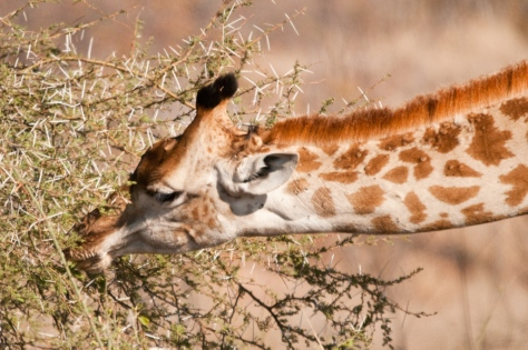 Giraffe, Letaba