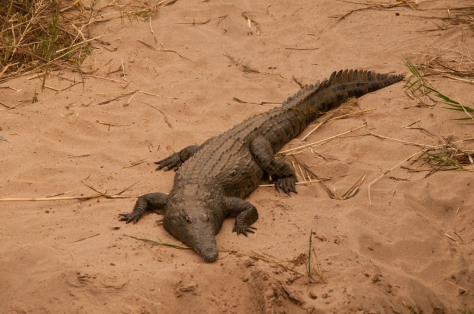 Crocodile, Letaba River