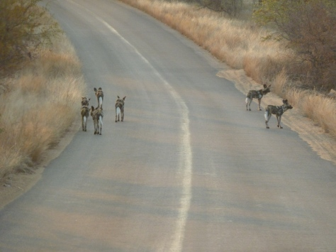 Wild Dogs on patrol near Letaba