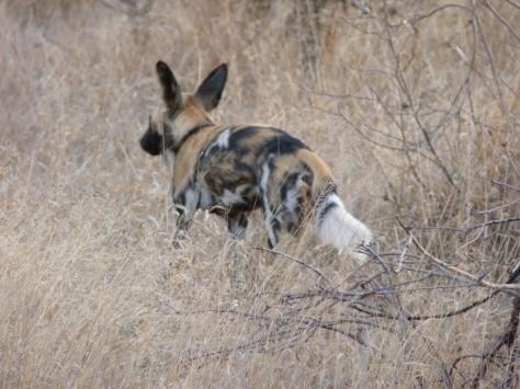Wild Dog heads off into the bush