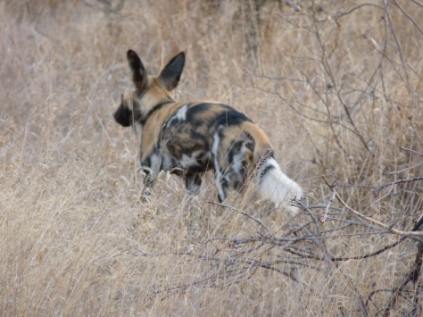 Wild Dog heads off into the bush