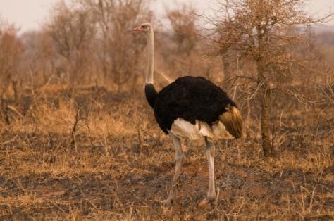 Ostrich near Satara