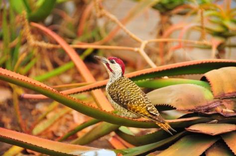 Bennet's Woodpecker, Satara