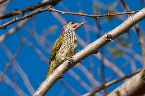 Golden-tailed Woodpecker, Tamboti