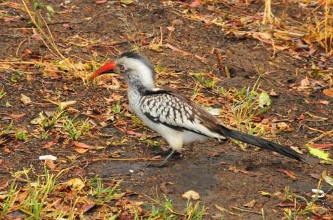 Red-billed Hornbill, Tamboti