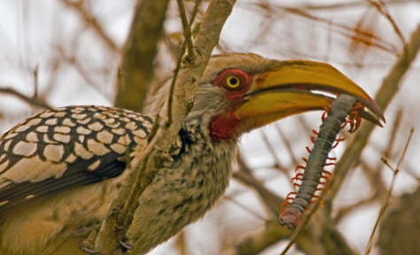 Yellow-billed Hornbill with doomed centipede