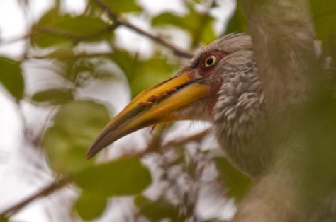Yellow-billed Hornbill finishing breakfast