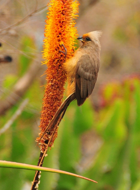 Speckled Mousebird, Satara
