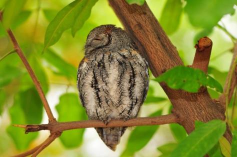 African Scops-Owl, Satara