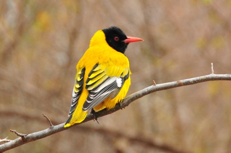 Black-headed Oriole, Satara
