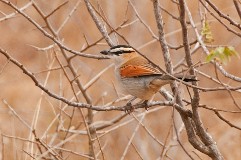 Black-crowned Tchagra, Tamboti