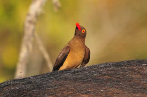 Red-billed Oxpecker on Buffalo