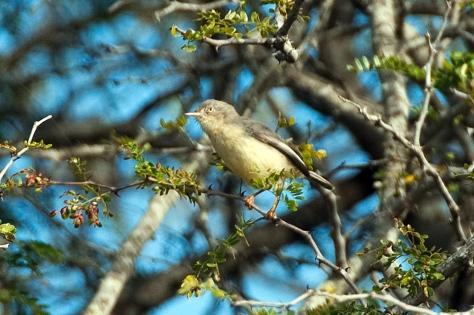 Burnt-necked Eremomela, Tamboti