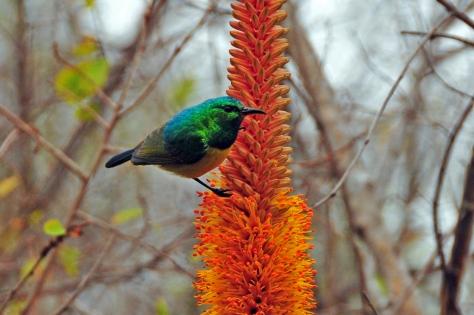 Collared Sunbird, Satara