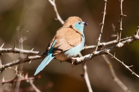 Blue Waxbill, Tamboti