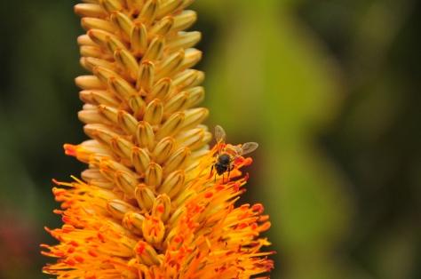 Bee on Aloe