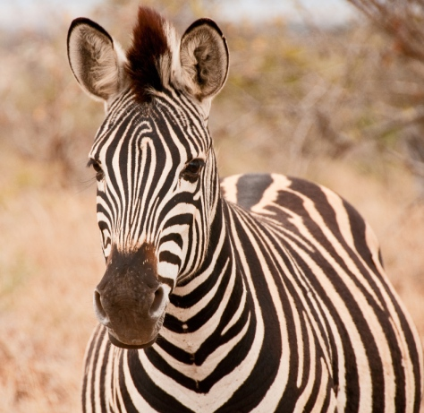 Zebra - Most photogenic animal in Kruger?