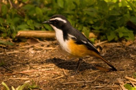 White-browed Robin-Chat, Tamboti