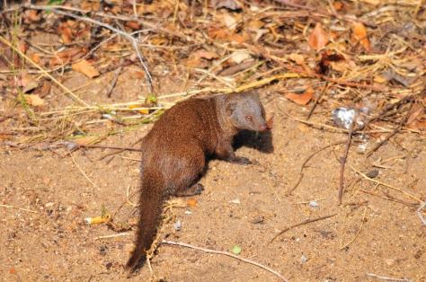 Dwarf Mongoose, Tamboti