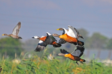 SA Shelducks and Yellow-billed Ducks