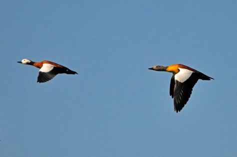 SA Shelduck, male following female (so what else is new?)