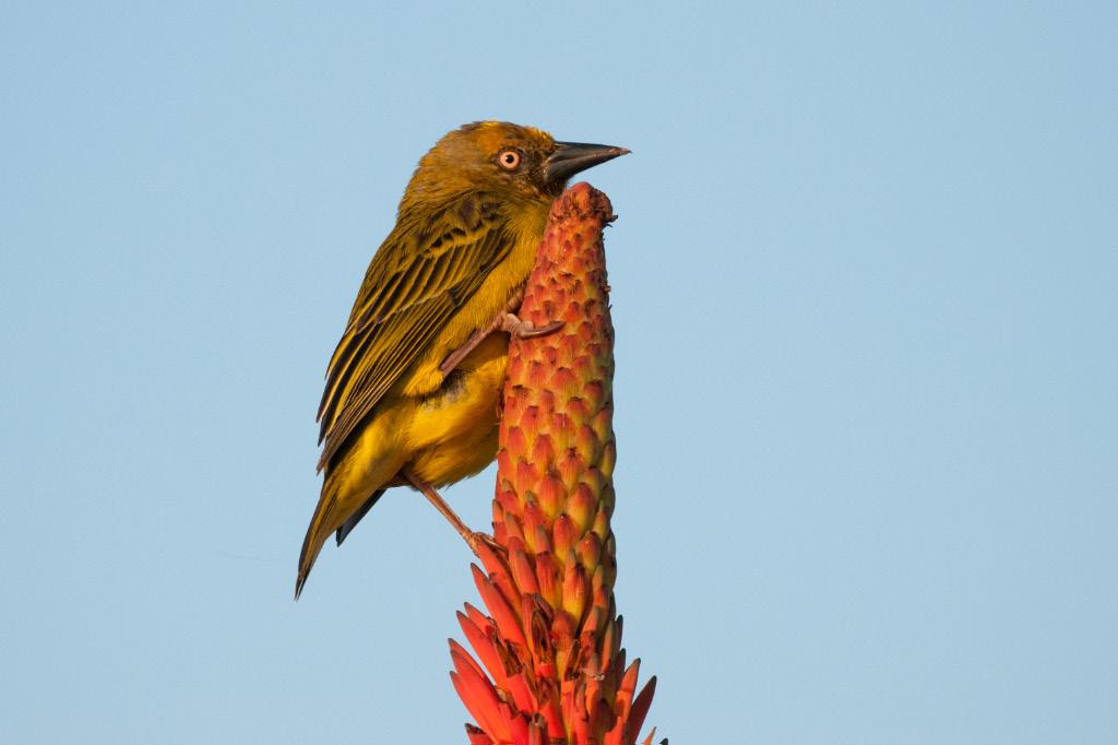 Cape Weaver, De Hoop NR