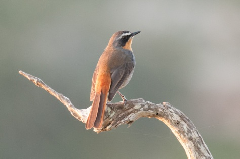Cape Robin-Chat, De Hoop NR