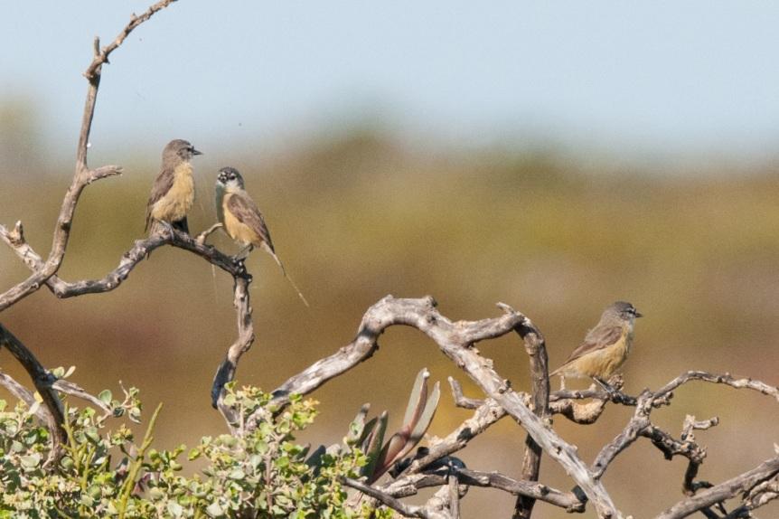 Cape Pendiline-Tit, De Hoop NR