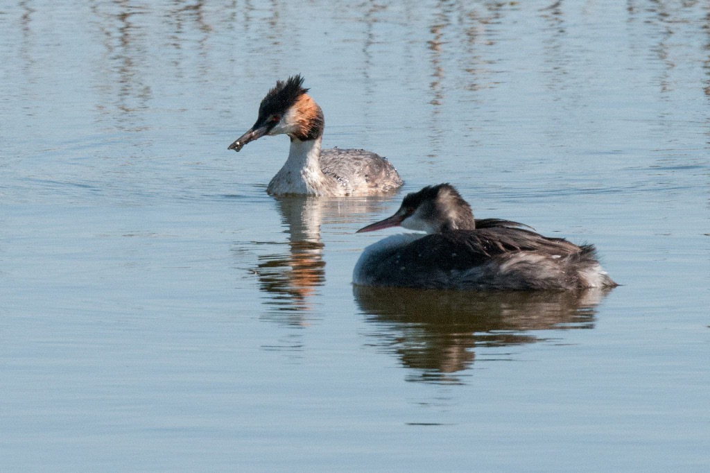 Great Crested Grebe, De Hoop NR