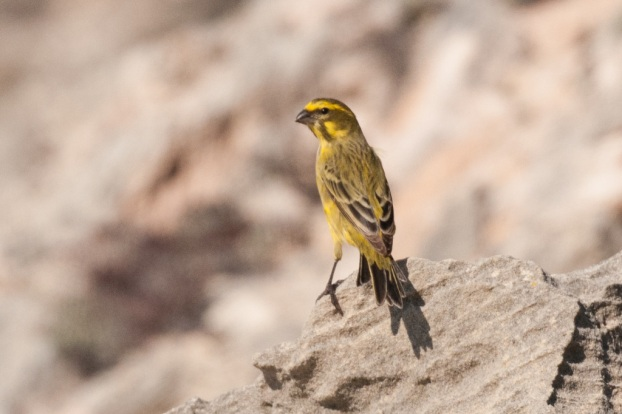 Yellow Canary, De Hoop NR