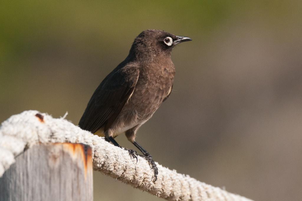 Cape Bulbul, De Hoop NR