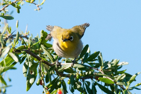 Cape White-Eye, Camdeboo NP